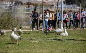 Los gansos vuelven al parque del río en Badajoz