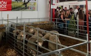 Subastados 32 animales de raza merina de La Cocosa en la Feria de La Coronada