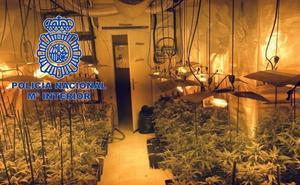 Detenidas dos personas por cultivar 434 plantas de marihuana en una vivienda de Mérida