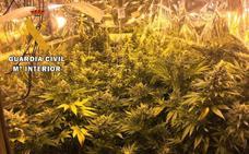 Detienen a seis personas y desmantelan tres plantaciones de marihuana en la provincia de Cáceres