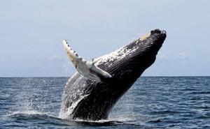 La UEx participa en un estudio sobre ballenas jorobadas junto a científicos del Reino Unido