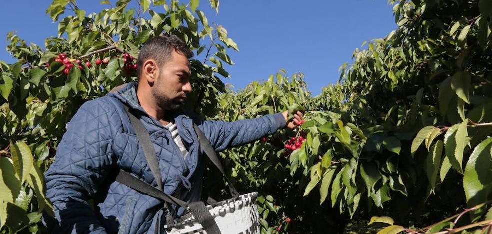 La campaña de cereza tendrá menos kilos para lograr mejores precios