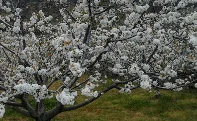 La fiesta del Cerezo en Flor se clausura este fin de semana en El Torno