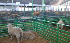 La Feria de la Primavera de Zafra contará con más de 850 ejemplares de ovino
