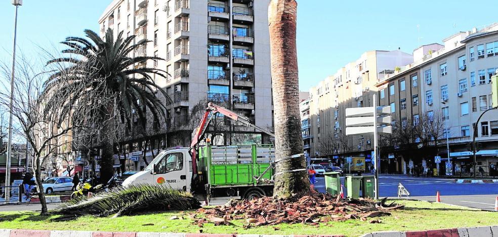 El Ayuntamiento cacereño inicia una campaña para combatir el picudo rojo en 225 palmeras