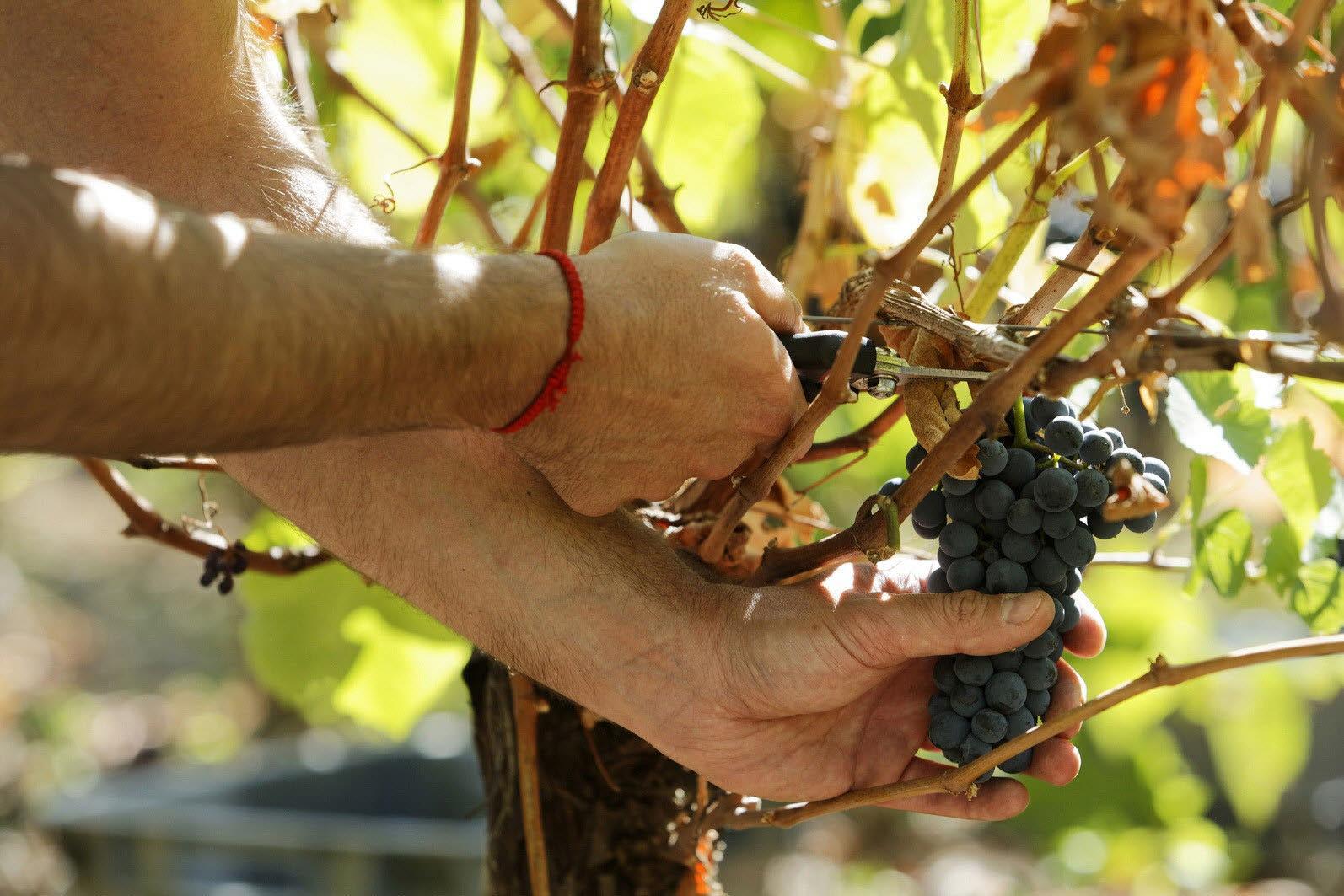 La Junta asegura que la nueva orden de ayudas al viñedo no afectará a los agricultores