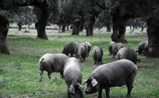 La montanera finaliza con un 9% menos de cerdos ibéricos de bellota sacrificados