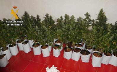 Cuatro investigados en Cabeza del Buey como responsables de dos invernaderos de marihuana en viviendas