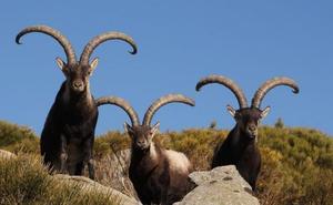 A subasta en Losar de la Vera el rececho de 31 ejemplares de cabra montés