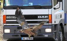 Los accidentes con animales aumentan en las carreteras cacereñas un 5,5% el último año