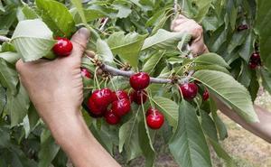 Las primeras cerezas del Valle del Jerte llegan a las cooperativas