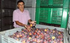 La producción de fruta de hueso será de 280.000 toneladas en la región, por debajo de su potencial