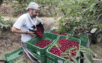 La producción de cereza bajará más de un 10% esta campaña en Extremadura