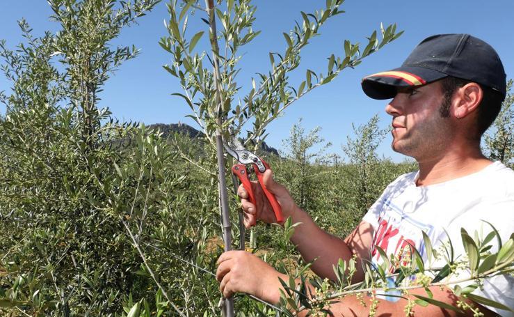 La superficie de olivar en regadío crece un 53% en el último lustro