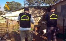 Investigado un ganadero de Arroyo de San Serván por simular el robo de cabras para cobrar del seguro