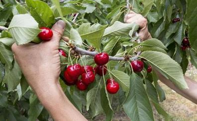 Se intensificará la vigilancia en el Valle del Jerte para evitar hurtos en la campaña de la cereza