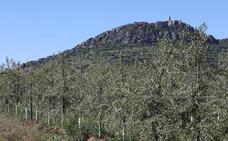 El olivar intensivo inunda Extremadura