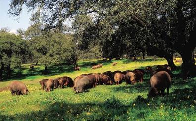 Jerez abordará el cultivo intensivo de encinas en el XXX Salón del Jamón Ibérico