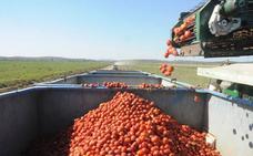 Extremadura destinará 23.000 hectáreas a la campaña del tomate, similar al año pasado