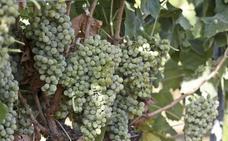 Ribera del Guadiana certificará uva portuguesa para ganar en calidad