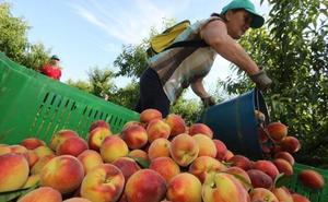 La campaña de la fruta se adelanta en Extremadura por las temperaturas