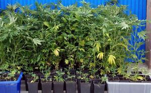 La Policía Nacional incauta 58 plantas de marihuana en una casa del Casco Antiguo de Badajoz