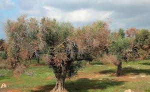 El ébola de los olivos causa daños en el sur de Europa