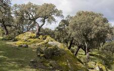 El Ayuntamiento de Plasencia recaudará unos 850.000 euros con el corcho de Valcorchero