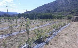 El robo en un campo de ensayos de Cooperativas del Valle del Jerte frustra tres años de trabajo