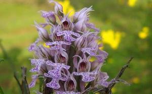 El 'Orchy Festival' ofrece este fin de semana talleres, exposición y venta de orquídeas en Almaraz