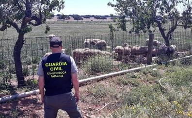 Investigan a un vecino de Valencia de Alcántara por el robo de 20 borregos en Talavera