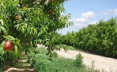La producción de fruta de hueso se prevé superior a la campaña pasada