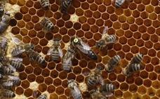 Un apicultor cacereño pierde sus 203 colmenas en Zamora al encontrarlas tapadas