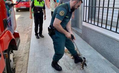 La Guardia Civil captura una culebra de más de metro y medio en un canalón en Hornachos