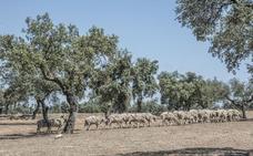 Las ovejas podrán pastar hasta el 30 de junio para prevenir incendios forestales