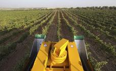 La producción de vino rondará la media de los últimos años