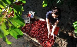 Crece la demanda para hacer agroturismo de cerezas en el Valle del Jerte