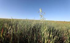 La cosecha de cereal se reduce un tercio respecto a 2018