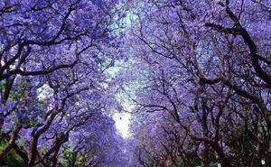 El kiri, sol y sombra de un árbol