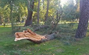 Cae parte de un pino sin causar daños personales