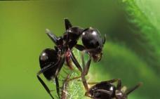 Mi suegra y las hormigas faraón