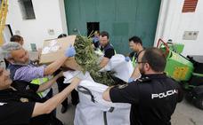 Cinco detenidos y 700 plantas intervenidas tras desmantelar la primera nave de marihuana en Cáceres