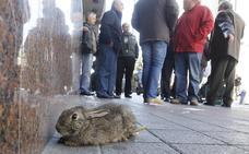 3.000 conejos para construir el AVE