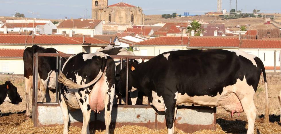 Un centenar de granjas de vacas de leche resisten en la región