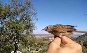 Adenex anilla 86 aves de 16 especies distintas en La Fontanita de Montánchez