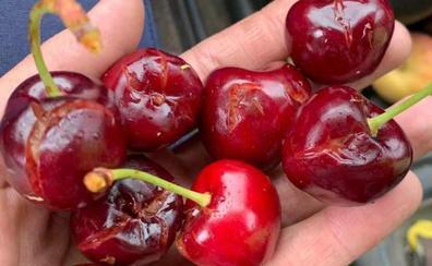 El granizo hace perder la mitad de la producción de cereza en Tornavacas