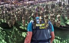 Desmantelada en Alburquerque la plantación de marihuana de un vecino de Badajoz