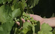 Asaja dice que la región es la peor parada en la asignación de fondos de reestructuración del viñedo