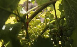 La Junta abona 279.000 euros a 29 solicitantes de la ayuda a la reestructuración del viñedo