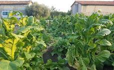 El granizo y el viento dañan varias plantaciones en Villanueva de la Vera